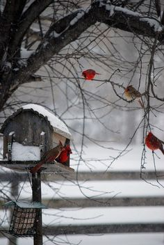 Cardinals in the snow help add a pop of color to winter in the Kennebec and Moose River Valleys of Maine.