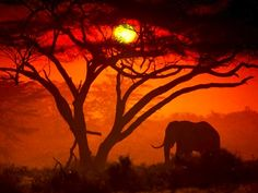 African tree and elephant | Silhouette