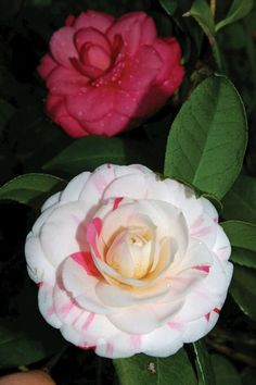 Native to Asia, camellias have a rich history from Europe to the Antebellum South.
