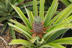 it takes 2 years to produce and to harvest Pineapples - (São Miguel, Açores)
