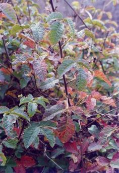 Poison Oak , Be sure that you know exactly what poison ivy, poison oak, and poison sumac look like. It's very important that you can look at the plant or plants and know what plant to avoid. Plus you should know all the effective methods of treating the itch from these plants.
