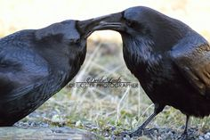 White Wolf : Stunning Photos Capture the Majestic Beauty of Ravens