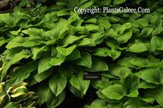 hosta | Hosta plantaginea