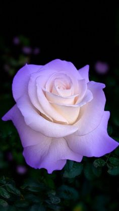 Flowers Purple Roses New Ideas Beautiful Flowers Wallpapers, Beautiful Rose Flowers, Flowers Nature, Exotic Flowers, Amazing Flowers, Pretty Flowers, Flower Images, Flower Pictures, Rosa Rose