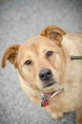// SADIE // 3 (RESCUE ONLY) is an adoptable Chow Chow Dog in Youngstown, OH. CONTACT: mditchey@mahoningcountyoh.gov www.friendsoffidomahoning.org Available: Now Sadie is a 7 year old, Chow/Golden mix,...
