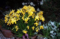 RHS Plant Selector Narcissus 'Jumblie' (12) AGM / RHS Gardening