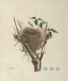 Botanical illustration: bird nest and eggs