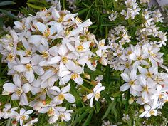 Add Lovely White Scented Blossoms to Your Yard with the Mexican Orange