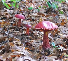 beautiful Mushrooms   One of the most beautiful Boletes. Only available in the Eastern USA.