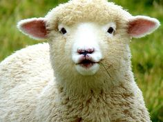 cute sheep images | AndreaEL › Portfolio › Oooh! La La... - Baby Lamb - Sheep - NZ
