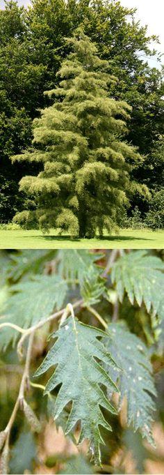 Alnus glutinosa 'Laciniata' (Aulne glutineux 'Laciniata') [Betulaceae]