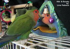 Lovebirds as Pets