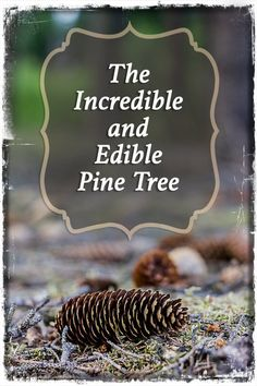The Incredible and Edible Pine Tree http://prepforshtf.com/incredible-edible-pine-tree/#.VKbfpCvF-So