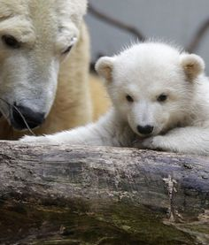 Polar bear Anori (knut's half-brother) with mom