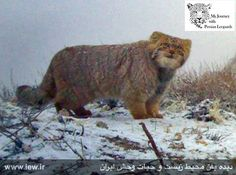 """Persian Pallas cat - captured by camera trap in the """"Salook National Park"""" - North Khorasan Province, Iran, Date of observation: December 2015 Credit: M.FarhadiNia and his project team I Love Cats, Big Cats, Cool Cats, Cats And Kittens, Nature Animals, Animals And Pets, Cute Animals, Funny Animals, Beautiful Cats"""