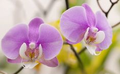 Orchid Roots, Moth Orchid, Orchid Plants, Orchid Care, All Plants, Indoor Plants, House Plants, Orchids In Water, Dendrobium Orchids