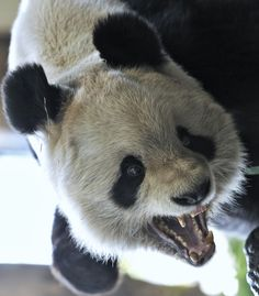 Crazy Panda by Josef Gelernter on 500px