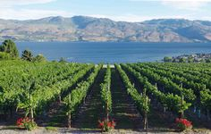 Quail's Gate Winery and their Old Vines Restaurant offer the best views of Okanagan Lake, superb wines and one of the finest restaurants in Kelowna.