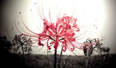 Since these spider Lilies usually bloom near cemeteries around the autumnal equinox, they are described in Chinese and Japanese translations of the Lotus Sutra as ominous flowers that grow in &#223...