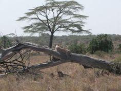 Boomklimmende leeuwen in Lake Manyare National Park, Tanzania #Tanzania #Lake Manyare National Park #Boomklimmende leeuwenhttp://www.mambulu.com/safari/tanzania17/reissuggesties-tanzania/143-luxe-safari-rondom-kilimanjaro-tanzania.html#dag-6-lake-manyara-national-park,-boomklimmende-leeuwen