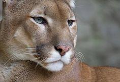Обои усы, обои, горный лев, кугуар, Пума, морда, взгляд
