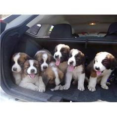 Someday I wil have a ranch with 8 St Bernard's for sure :) love tem