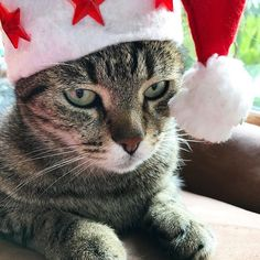Buon natale 🎄❤️#mygreatcat #my_loving_pet #cat #gatto #catoftheday #catsofinstagram #catstagram #gatti #instacat #instacat_meows #bestmeow #topcatphoto #miao #catlover #gatto #catoftheday #katze #gato #chat #猫  #neko #猫好き #Exellent_Cats #子猫 #プッシーキャット #ニャー #甘い #愛猫 #buonnatale #natale #merrychristmas