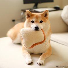 柴犬だいふくさんはInstagramを利用しています:「ゴールデンウィークもパンパンパパン小麦かおる柴犬だいふくです❤️ yummy yummy yummy #パン #bread #小麦かおる犬」