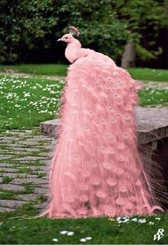 Yes, this is the very rare Marius kayicus photoshopicus peafowl. It's natural…<<<IDC PiNk Peacock! Rare Animals, Cute Baby Animals, Animals And Pets, Funny Animals, Pink Animals, Strange Animals, Exotic Animals, Felt Animals, Pretty Birds