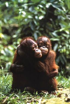 it is my dream to visit and maybe work at an orang-utan orphanage. so cute!
