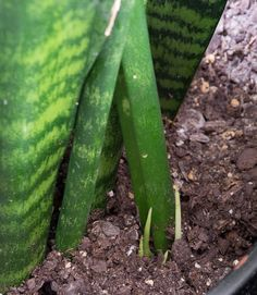 Learn how to propagate snake plants, including how to propagate snake plant cuttings in water and how to propagate snake plants in soil. Snake Plant Propagation, Pothos Plant, Plant Cuttings, Large Plants, Cool Plants, Water Plants Indoor, Snake Plant Care, Replant, Growing Plants