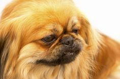 Senior Dog Care - Caring for your Aging Pekingese