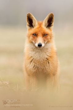 Ticky - One of a Fox by RoeselienRaimond via http://ift.tt/2jqLSOj
