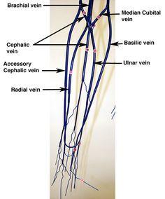 Veins of upper extremity Forearm Anatomy, Histology Slides, Nasal Cavity, Anatomy And Physiology, Google