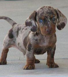 I want this dapple dachshund! Child Friendly Dogs, Friendly Dog Breeds, Dapple Dachshund, Long Haired Dachshund, Dog Quotes Funny, Dog Memes, Funny Dogs, Cute Puppy Breeds, Cute Puppies