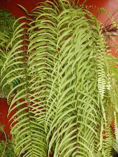 HELECHO CORTINA  (Goniophlebium subauriculatum)