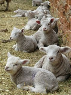 Lambs resting. Our crop of lambs will arrive soon...