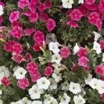 Even if you deadhead your petunias furiously, clipping off all those faded blossoms, the stems just keep growing longer. Do petunias need pruning? Yes, they do. Click here for more information about how to cut back petunias.