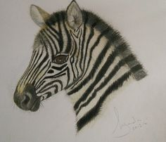 'Zeke' coloured pencil drawing of a zebra foal by Lynda Colley Originals