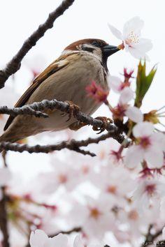 でも、飲めるうちに桜の蜜をたーくさん飲んどかなきゃねー♪ #スズメ #Sparrows #鳥 #Birds #東京 #写真好きな人と繋がりたい #花 #桜
