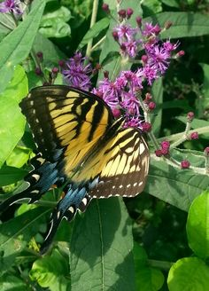 Female tiger swallowtail butterfly. I love seeing them flitter in the yard decorating the air with their large yellow or black flapping wings.