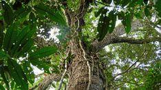 Urwald Riese mit Hand-dicken Lianen in Amazonien, im Hinterland des Rio Apuaú.