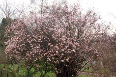 Viburnum Fragnans Plant for Sale - Get your Viburnum Shrub Now Woodland Garden, Plant Sale, Winter Garden, Shrubs, Grass, Seeds, Landscape, Plants, Beautiful