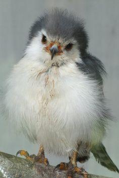 ^Fluffy little hawk chick