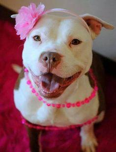 cute #pitbull