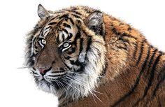 Tiger, Tigerkopf, Tier