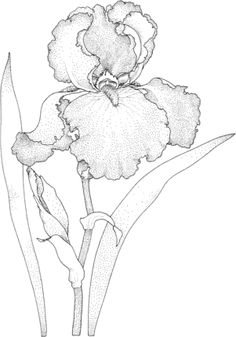 Click Iris Blossom Coloring page for printable version