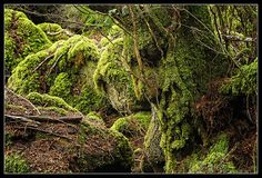 Barbalbero - Beardtree - Bárbol - Sylvebarbe - Baumbart | Flickr - Photo Sharing!