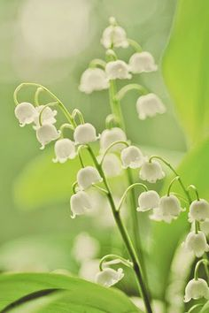 lily of the valley...I am waiting anxiously for mine to come up...