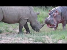 Badak vs Kuda Nil | Perkelahian Binatang Buas | Video Pertarungan Hewan